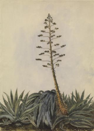 STUDY OF GIANT CACTUS IN FLOWER by White, George