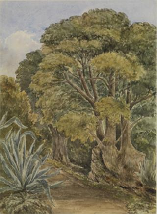 STUDY OF TREES AND CACTI by White, George