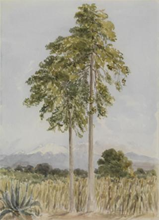 SUGAR CANE NEAR MOUNT POPOCATEPELT by White, George