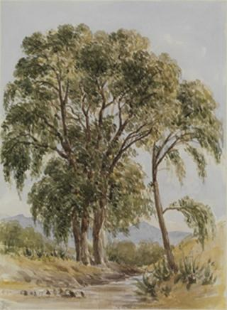 TREE STUDY NEAR TACUBAYA by White, George